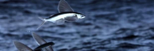 flyingFish skraiduolė